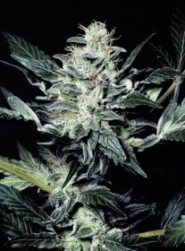 SENSI STAR · Paradise Seeds · cannabis seeds · Fem