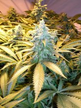 SNOW WHITE · Nirvana Seeds · cannabis seeds · Fem