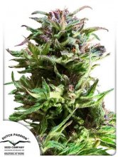 FOREST DREAM · Dutch Passion · cannabis seeds · Fem