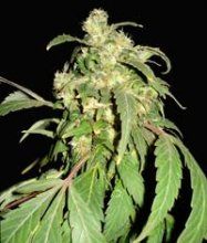 PAKISTAN RYDER · World Of Seeds · cannabis seeds · AutoFem