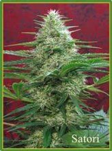 SATORI · cannabis seeds · Reg