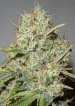 Shark Widow · Advanced Seeds · cannabis seeds · Fem