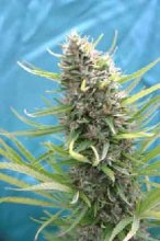 SAFARI MIX · cannabis seeds · Reg