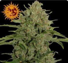 TRIPLE CHEESE · Barneys Farm · cannabis seeds · Fem