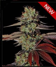 KING´S KUSH AUTO · Green House Seeds · cannabis seeds · AutoFem