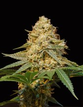 SILVER LA · DNA Genetics · cannabis seeds · Fem