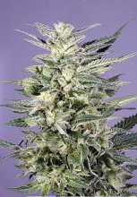 JORGES DIAMONDS I · Dutch Passion · cannabis seeds · Fem