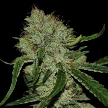 TANGILOPE · DNA Genetics · cannabis seeds · Fem